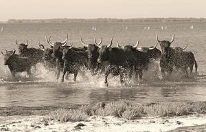 taureaux en liberté